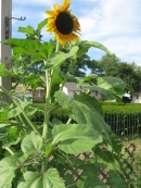 Sunflowers in the garden